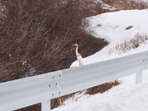 雪に映えるシラサギ