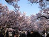 高遠 桜2