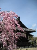 善峰寺桜と寺