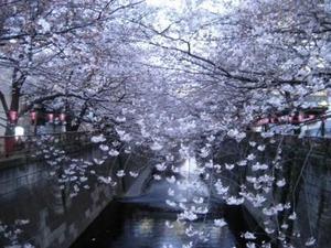 目黒川桜 014 web
