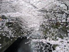 目黒川桜2007