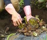 野菜掘り・里芋