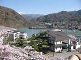 高遠 桜5