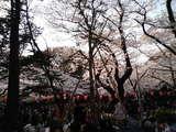 上野公園の桜�