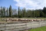 ニュージーランド 牧場の羊