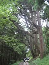 幣立神宮 杉