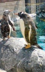 北海道 旭山動物園 ペンギン