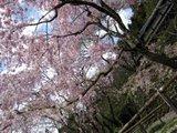 勝持寺紅しだれ桜