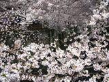目黒川沿い桜