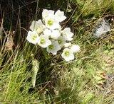 ニュージーランド マウントクック 高山植物