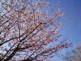 伊豆高原桜まつり�