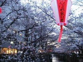 目黒川桜 015 web