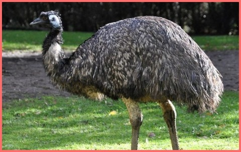 Emu-600x528