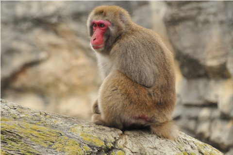JapaneseMacaque1
