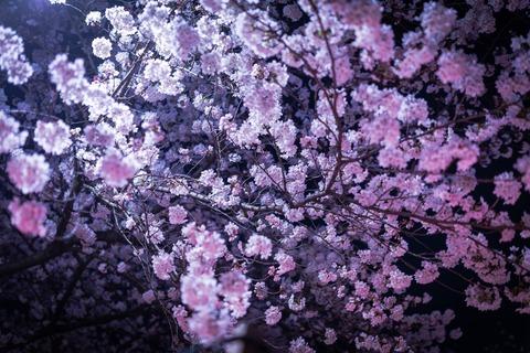 PAK86_yozakuragaitou15195414_TP_V