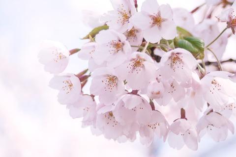 MARI85_harunopinksakura20120505_TP_V
