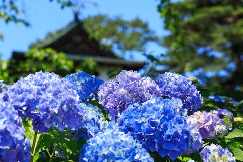 AME618ajisai_TP_V