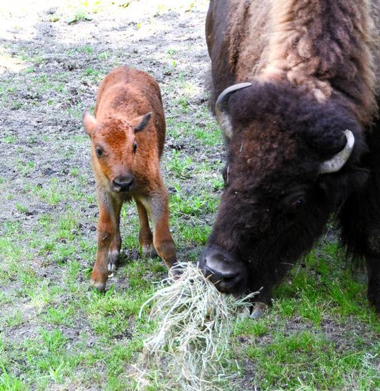 【画像】盛岡市動物公園のバイソン、タイソンとアメリの赤ちゃん 成長すくすくwwwwwwww