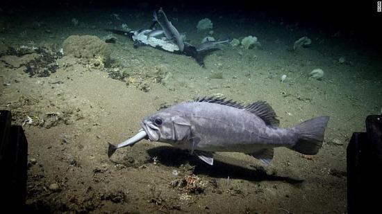 【画像】深海の「仁義なき戦い」1匹を別の大魚が丸呑みwwwwwww