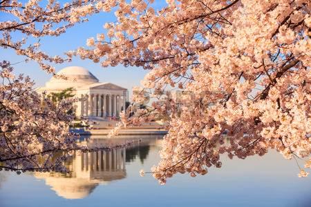 日米友好の印、米首都の桜が満開に(海外の反応)