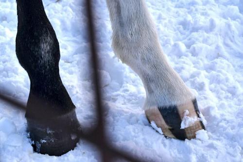 【競馬】ゴールドシップ産駒(牡馬1歳)の蹄がヤバ過ぎると話題