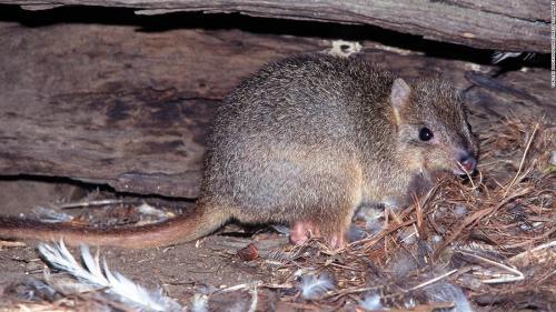 オーストラリア、野良猫のせいで固有種が絶滅寸前 政府が200万匹の駆除計画、一匹10ドルの報奨金も