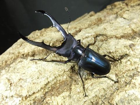 ネイビー♂種親-4