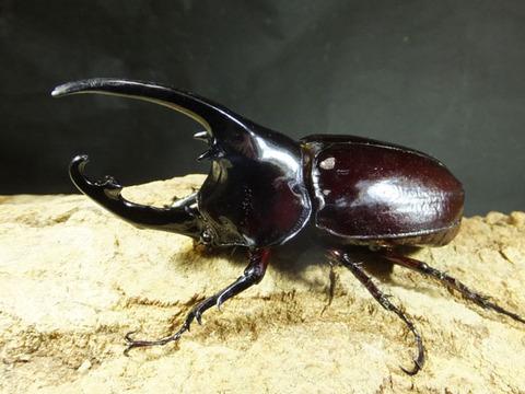 kentaurusu-4