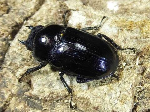 black-hasutato-mon-fe-4