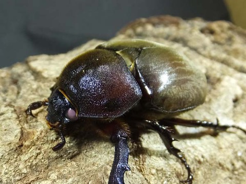 beetle-pink-f4