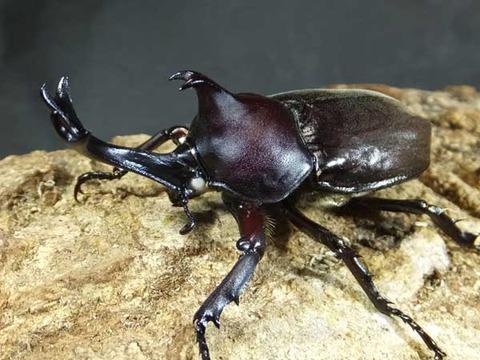 w-beetle-4