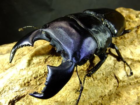 種親98ミリ顎14.3頭36.5