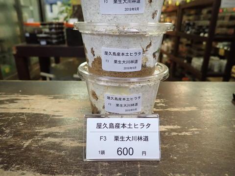 屋久島産本土ヒラタ