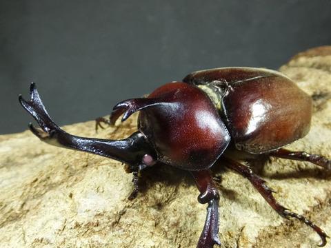 beetle-pink-4