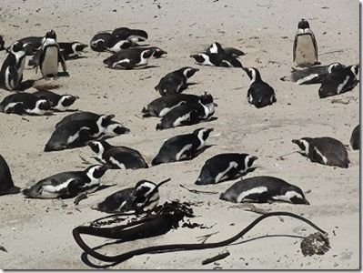 ケープペンギンの群れ