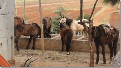 ポニートレッキングの馬