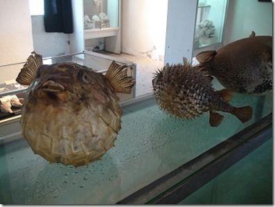 コモロの博物館内にあるハリセンボンやフグのはく製