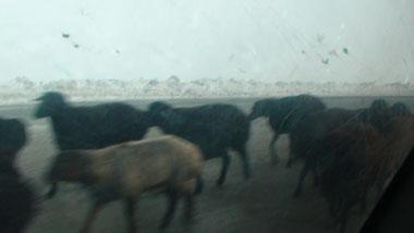 キルギスの動物