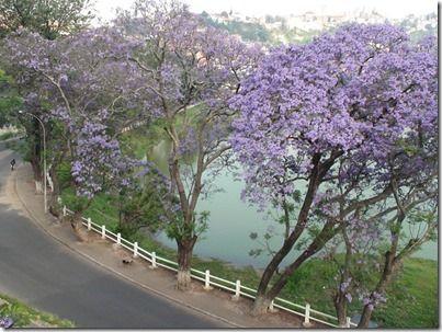 マダガスカルの咲き乱れるジャカランダ
