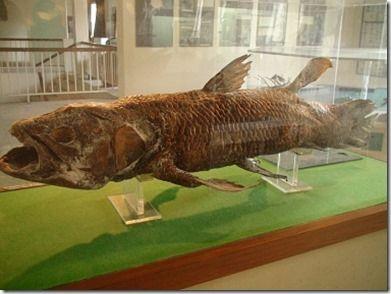 コモロ国立博物館のシーラカンスの剥製