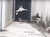 飛んで飛んで身をかがめて。このシロクロ猫の身のこなしが凄い9秒動画。スローモーションあり。
