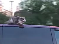 90キロで走る車の屋根の上で落ちないように必死に耐えているネコちゃんが撮影される。