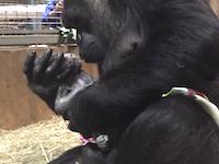 ゴリラの出産シーンがなかなか衝撃的。自分の手で赤ちゃんを取り上げるゴリラの映像が公開される。
