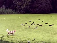 池を覆う藻類を芝だと勘違いしたワンちゃんがwwwこれは焦っただろwwwww