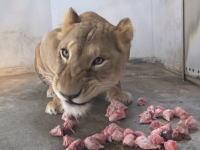 ライオンの咀嚼音。ニワトリの頭蓋骨をガリガリ!ぺちゃぺちゃ食べる映像。