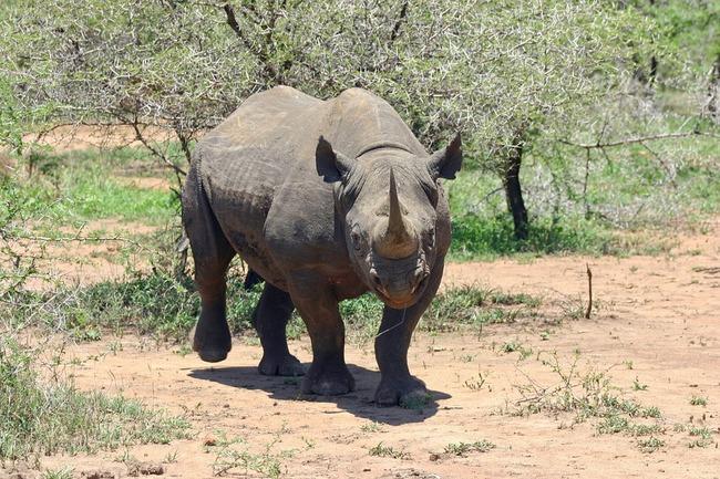black-rhinoceros-412667_960_720