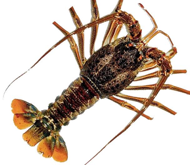 pro_lobster_1