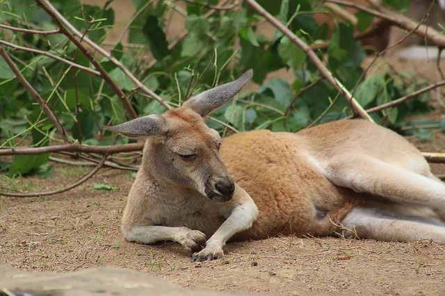 kangaroo-3582034_640