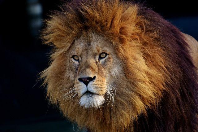 lion-3040797_640