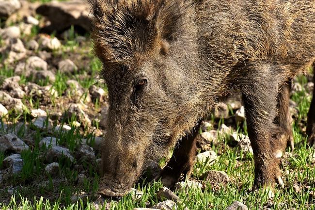 wild-boars-3363665_960_720